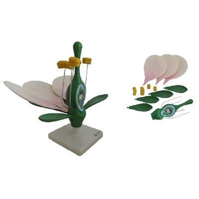 Kwiat brzoskwini - przekrój - Kliknij obrazek, aby zamknąć